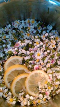Sedmikráskový sirup Skvělý, bezpečný a jemně působící na nachlazení a kašel, na čistění jater a posílení ledvin pro malé děti. Postup výroby: Tři hrsti sedmikrásových květů přelít 750 vroucí vody, přidat omytý, na plátky nakrájený citron a nechat do druhého dne. Druhý den scedit přes lněné plátýnko, přidat 750g cukru, povařit 7 minut a slít do lahví.…