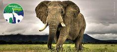 Uma campanha de financiamento coletivo está em busca de doações para construir uma nova casa para os elefantes no Brasil. A ação é do Santuário de Elefantes, uma organização sem fins lucrativos que resgata elefantes cativos em situação de rico e oferece a eles espaço e cuidados necessários para que se recuperem física e emocionalmente.