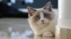 Quantas raças de gatos conheces? Se gostas destes adoráveis animais de companhia, seguramente sabes que existem muitas raças.