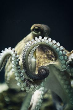 Octopi are so beautiful. When I'm rich someday, I'll have one as a pet in a huge saltwater aquarium.