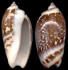 Olivancillaria gibbosa