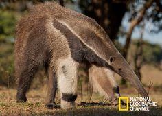 Animais que vivem na terra devem lutar por sua chance para comer e se reproduzir. Brasil Secreto, Pantanal. #NatGeo http://www.natgeo.com.br/pantanal