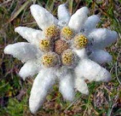 Leontopodium ochroleucum Beauverd - Google'da Ara