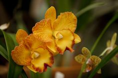 """20th Australian Orchid Council Conference and Show """"Orchids in Paradise"""" Cattelya by Rebecca O'Grady http://rebeccaogrady.com/"""