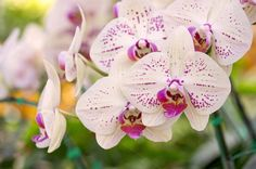Yellow phalaenopsis orchid flower by aopsan on @creativemarket