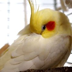 tootricky: fluffy cockatiel (Source: http://www.youtube.com/watch?v=ycaRODyTBwc)