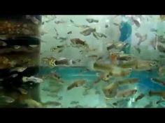 fish tank wallpaper hd 2017: my tank Hybridization fish guppies in the aquarium...