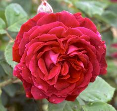 Rose : Alfred Colomb 1865
