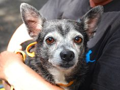SUPER URGENT ARCHIE – A1042229 +SENIOR+ ***SAFER : AVERAGE HOME*** NEUTERED MALE, BLACK / WHITE, CHIHUAHUA SH MIX, 10 yrs STRAY – ONHOLDHERE, HOLD FOR ID Reason STRAY Intake condition GERIATRIC Intake Date 06/30/2015, From NY 10029, DueOut Date07/03/2015,