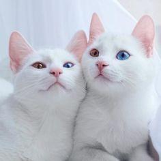 """""""【オッドアイの双子ネコ】 美しい双子姉妹ネコのアイリスとアビス。 目の色が異なるオッドアイの持ち主で、その神々しさから「世界一美しい双子」ともいわれています。"""""""
