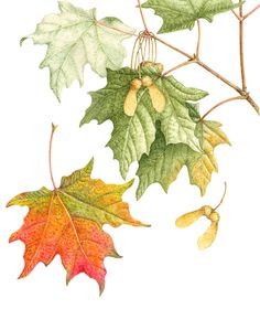 Acer Saccharum -- Sugar Maple (or Rock Maple) Botanical Flowers, Botanical Prints, Art Floral, Watercolor Leaves, Watercolor Paintings, Floral Illustrations, Illustration Art, Nature Drawing, Botanical Drawings
