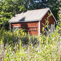 Snart ut å plukke bringebær.. bak det gamle hønsehuset 🍃🐔