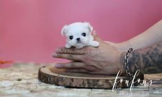 Welcome to FouFou Puppies. The Home of the World's Most Exquisite Teacup Maltese for Sale. Contact Us Today to Reserve Your Puppy! Ask for Our 'Special Order' Option. We Can Locate Your Dream Puppy! Teacup Maltese For Sale, Maltese Puppies For Sale, Cute Baby Puppies, Fluffy Puppies, Black Lab Puppies, Teacup Puppies, Maltese Dogs, Little Puppies, Corgi Puppies