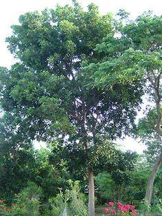 Swietenia mahagoni (mahogany tree)- sun/ps, 50x40, drought tolerant, fast growing, egreen, z10a-11. http://www.sfwmd.gov/portal/page/portal/xrepository/sfwmd_repository_pdf/ww2_waterwise_trees.pdf