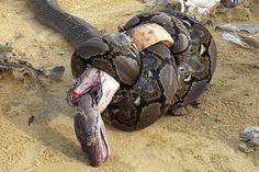 La lucha mortal entre una cobra real y una pitón gigante acaba en tragedia para ambas | National Geographic