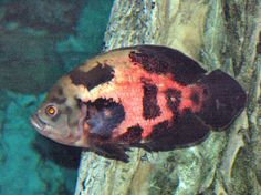 Oscar Cichlid, Astronotus ocellatus, Tiger Oscar, Velvet Cichlid, Marble Cichlid Tiger Oscar Fish, Cichlid Aquarium, Fish Aquariums, Terrarium Tank, Tropical Fish Aquarium, Cichlids, Freshwater Fish, Goldfish, Habitats