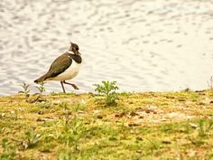 lapwing by Stephen Shaw on 500px