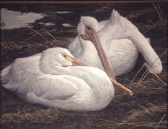 White Pelican Pair -Robert Bateman