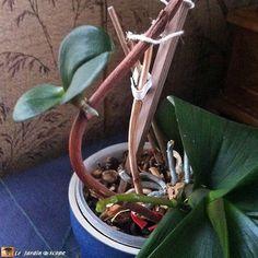 Mes orchidées font des bébés à la place des fleurs...