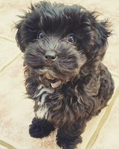 Black Maltipoo Super Cute Puppies, Super Cute Animals, Cute Dogs And Puppies, Doggies, Black Yorkie Poo, Teddy Bear Puppies, Havanese Puppies, Cocker Poodle, Canvases