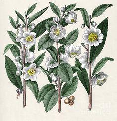 Camellia sinensis (tea plant) botanical print