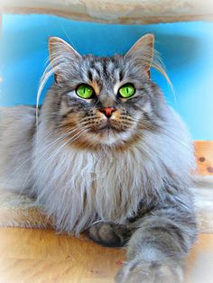 bubbles the maine coon cat :) http://www.mainecoonguide.com/