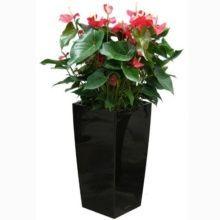 Anthurium rouge x 3 rempotés dans pot Lechuza cubico noir