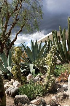 carex:    'Parque Oaxaca' a Los Angeles, California (U.S.) cactus and succulent garden designed by the artist-owners Lari Pittman and Roy Dowell. Photo by Ann Summa.Read more about the garden and how to grow cacti and succulents here:http://www.gardendesign.com/places/los-angeles-cactus-garden?pnid=129864#gallery-content