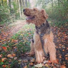 Find us on Instagram! Autumn picture of my #Airedale Berti. Do you like it? . . . . . . . You want to be featured? Follow me and send me a DM with your picture. . . . . . #instagramdog #airedale #airedaleterrier #terriers #terrierlove #hounddog #hounds #houndsofinstagram #canine #dogsarebetterthanpeople #dogfriendly #doggram #dogsoftheworld #dogsofintagram #dogoninstagram #airedales #fujifilx30 #terrier #instaterrier #terriergram #airedalesofinstagram