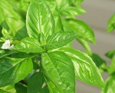 Eat More Basil! 5 Must-Make Recipes for Fresh Basil Have you planted a patio herb garden yet? It's easy, cheap, and will provide you with more fresh herbs than you. Herb Guide, Diy Jardin, Basil Oil, Basil Pesto, Tomato Basil, Basil Essential Oil, Essential Oils, Lime And Basil, Fresh Basil