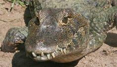 In salbaticie se duce o lupta constanta pentru supravietuire, iar atunci cand la mijloc este un peste si un aligator lupta este, de cele mai multe ori, inegala. Nu si in videoclipul de mai jos, ac