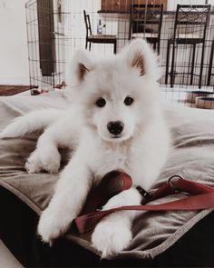 ☆ HollieAlexa8 ☆ Gato Animal, Puppys, Samoyed Puppies, Pomeranian Husky, Pomsky, Doggies, Pet Dogs, Dog Cat, American Eskimo Dog