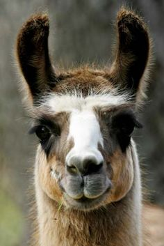 I kinda have a llama obsession.... 712 pictures of them in my camera roll. Lol