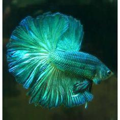 Ideas pet fish bowl betta half moons for 2019 Pretty Fish, Beautiful Fish, Animals Beautiful, Betta Fish Types, Betta Fish Tank, Koi Betta, Fish Tanks, Betta Aquarium, Colorful Fish