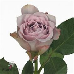 Rose Dancing Clouds is a NEW stunning Lilac / Purple variety. tall & wholesaled in 20 stem wraps. Lilac Wedding Flowers, Pale Pink Weddings, Cascading Wedding Bouquets, Lilac Roses, Rose Wedding, Purple Flowers, Fresh Flowers, July Flowers, Vintage Wedding Theme