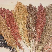 Colored Upright Sorghum Blend - Compact cone-shaped seed heads about 8 to 12 inches long are similar to Broom corn, but with less broom fiber. Colors are vibrant, earthy shades of red, brown, gold, black and tan. Becoming a favorite in the floral industry in fresh and dried arrangements. Corn-like plants grow 7 to 12 feet tall. Approximately 1400 seeds per ounce.