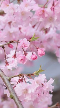 Pink Blossoms  by maco-nonch★R