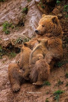 Mother Grizzly Bear with her Baby Bear Cubs