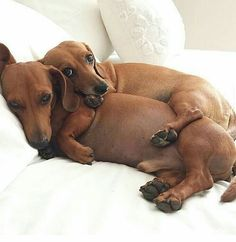 """233 Likes, 5 Comments - Dachshunds Are Awesome (@dachshunds_are_aww) on Instagram: """"#mondays #dachshundsofinstagram #dachshunds #dachshundsunited"""""""