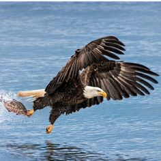 Smithsonian Photo of the Day: A Bald Eagle Goes Fishing