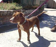 Lathrop, CA - Pit Bull Terrier/Labrador Retriever Mix. Meet Wally, a dog for adoption. http://www.adoptapet.com/pet/18598294-lathrop-california-pit-bull-terrier-mix