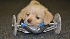 Tumbles, 6-week-old terrier-beagle mix, was born without front legs & given to the Friends of Shelter Dogs rescue group. Now with a new 3-D printed wheelchair, Tumbles is learning to move around. The Ohio University Innovation Center helped create it -- & pledged to help Tumbles for life. He's growing stronger, and is happy & willing as he faces months of physical therapy. Bless his heart~ & all who help