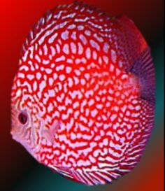 Red Checkerboard Discus Fish
