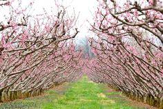 Stunning Chiles Peach Orchard.