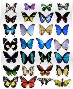 'Butterflies ' Poster by Shh op! Butterfly Painting, Butterfly Shape, Monarch Butterfly, Blue Butterfly, Butterfly Drawing, Indie Room, Butterfly Species, Indie Kids, Canvas Prints