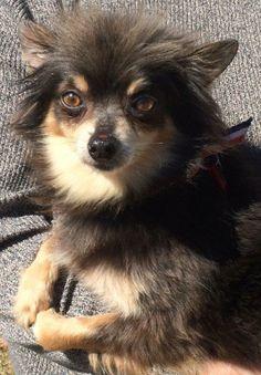 Petfinder  Adoptable | Dog | Chihuahua | Copiague, NY | Paco