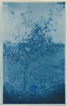 """Sweetbriar"" c. 1900  Arthur Wesley Dow  Sheet: 20 x 12.5cm (77/8 x 415/16 in.)  Photograph, cyanotype  Museum of Fine Arts, Boston"