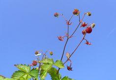Fragoline di bosco (Woodland...