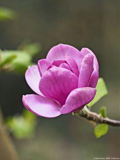 Black Tulip Magnolia   Fiche pratique : les magnolias à feuilles caduques - Détente Jardin
