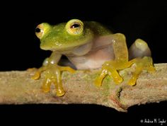 Glass frog (Andrew Snyder Photography) Tags: life wild latinamerica nature glass ecology animals america forest nikon rainforest natural wildlife conservation amphibian honduras science frog research jungle fungus latin tropical cloudforest operation biology tropics herp centralamerica biodiversity herpetology 105mm cusuco nikon105mm wallacea glassfrog operationwallacea opwall batrachochytrium dendrobatidis chytridfungus montanecloudforest bioindicator andrewsnyder chytrid…